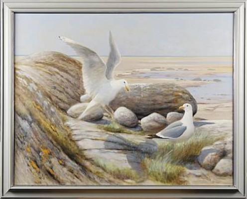 Gråtrut by Rune JOHANSSON