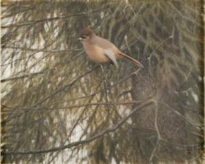 Fågel I Gran by Lennart SAND